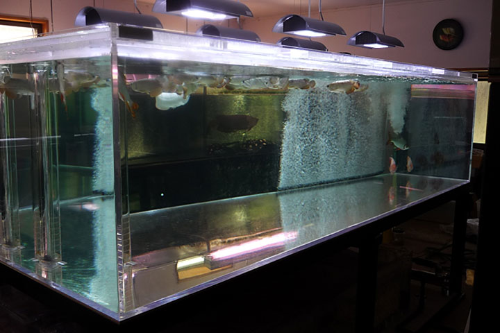 Freshwater stingray arowana frozen bait for large fish for Stingray fish tank